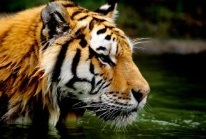 Tiger 32 by Art-Photo