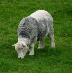 Young Herdwick by piglet365