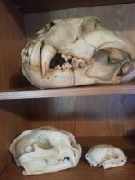 feline skulls by CatBonesTaxidermy