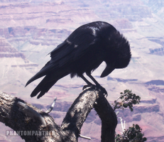 Print - Grieving Raven 01 by phantompanther