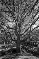 Beacon Hill Oak by Kekilen