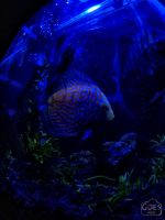 Discus Fish by bagoestm