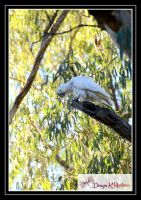 White Cockatoo by DesignKReations
