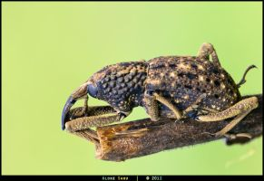 Weevil - Unidentified by alokethebloke