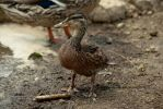 Portrait of a Young Duck by Cojaro