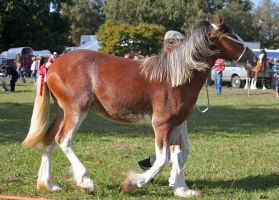 Clydesdale 12 by Sooty-Bunnie