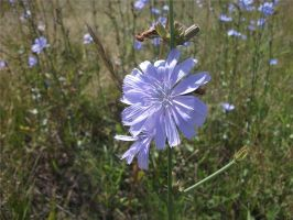 Chicory by Legat1992