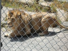 Lion Behind Fence 01 by Qiwi-Stock