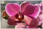 Orchid II by DysfunctionalKid