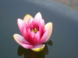 non-blurred water lily. by insomniana