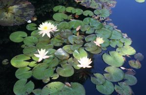 Denver Botanical Lilypads 32 by Falln-Stock