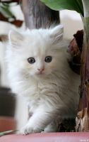 White Kitten by ChrisVDC