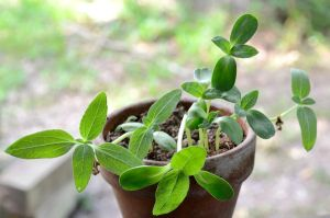 Sunflower Seedlings In Teracotta Pot by lamorth-the-seeker
