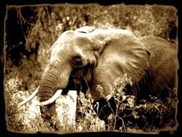 elephant by aliecatrose