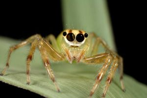 Vietnam jumping spider 1 by segraser