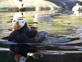 Tufted Puffin by 93FangShadow