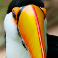 Toucan Bird by EarthBirds