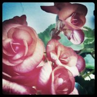 just roses by yanmand