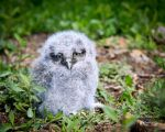 Baby Owl by Master-Road