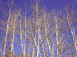 Birch by MeridaNinian