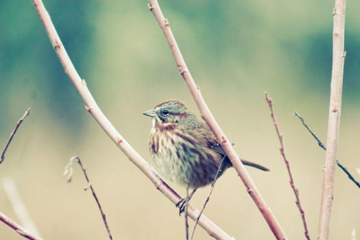 Song Sparrow by wolfypuppy