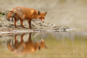 Fox Reflections by thrumyeye