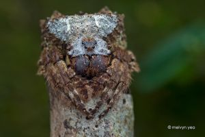 Big-Headed Bark Spider (Caerostris sp.) by melvynyeo