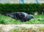 pigeon in grass 2 by rokicza