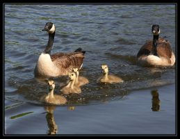 Canada Geese 40D0004655 by Cristian-M