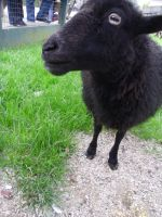 Little black Sheep n.n by CannibalBlowjob