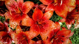 Red Lilies with Raindrops by Nini1965