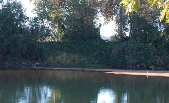 Deer and Heron on the Willamette by Orion--13