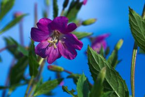 Great Willowherb by perost
