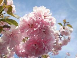 Japanese Cherry Blossom by Windstorm1