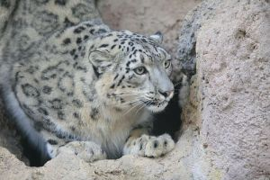 Snow leopard by arhythmetician