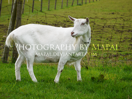Goat by mapal