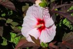 Super-sized Hibiscus by Caloxort