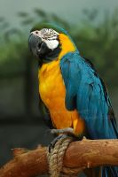 Macaw by Sagittor