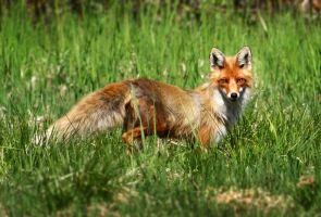 The Fox II by PiaBobacka