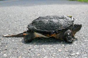 Why Did The Snapping Turtle Cross The Road? b by Wilcox660