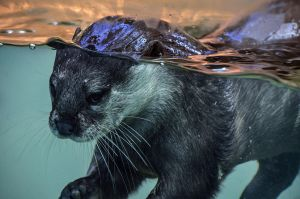 The Other Otter by Herculesi