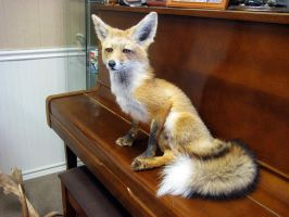 Little Fox on the Piano by WeirdCityTaxidermy