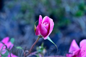 Cracker rose by plantm
