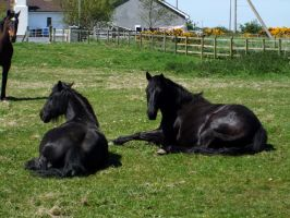 Black horses 01 by Kennelwood-Stock