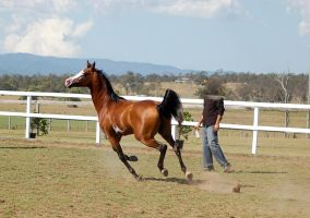 GE arab pinto cantergallop one tip toe on ground by Chunga-Stock