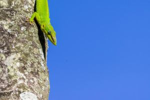 Still another green anole on a palm tree by LordMajestros