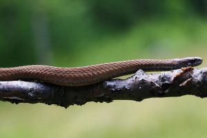 Red Bellied Snake by Xercesa