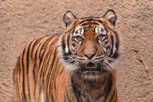 Sumatran Tiger Portrait 7618 by robbobert