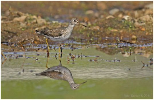 Solitary Sandpiper by Ryser915