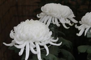 White Chrysanthemums by Baneling77